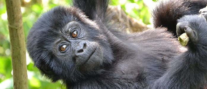 Rwanda Gorilla Permit fees doubled to $1500