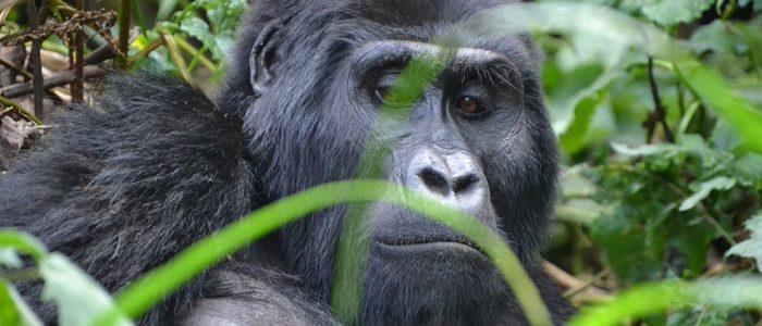 5 Days Fly In Gorilla Trekking Safari