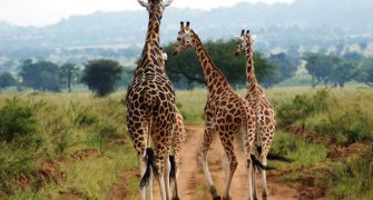 8 Days Uganda Chimps and Wildlife Safari