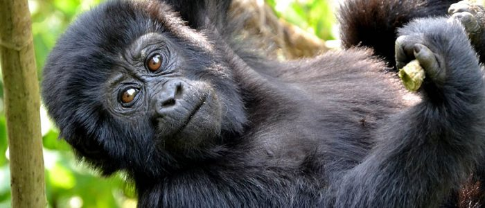 Mountain Gorilla in Bwindi