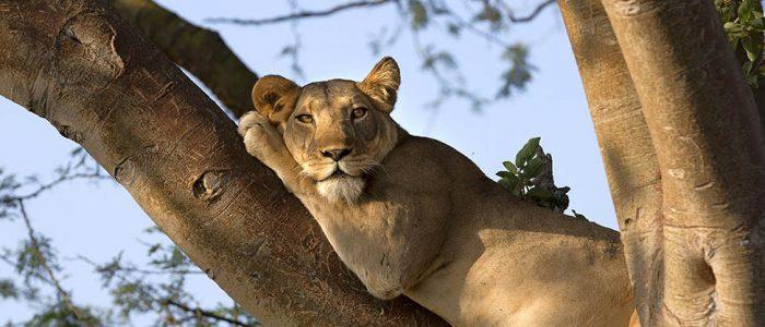 Tree Climbing Lion in Ishasha Sector