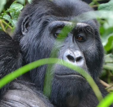 5 Days Fly In Gorilla Trekking Safari