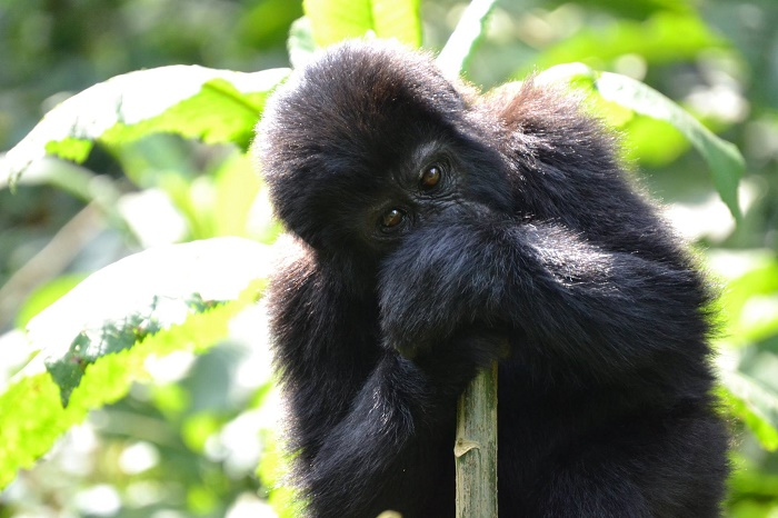 4 Days Uganda Gorilla Safari