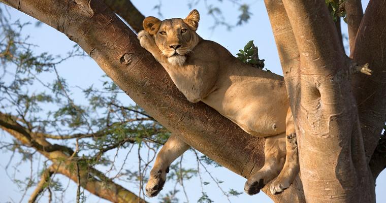 The Ishasha Uganda Wild Run