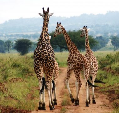 8 Days Uganda Chimps and Wildlife Safari