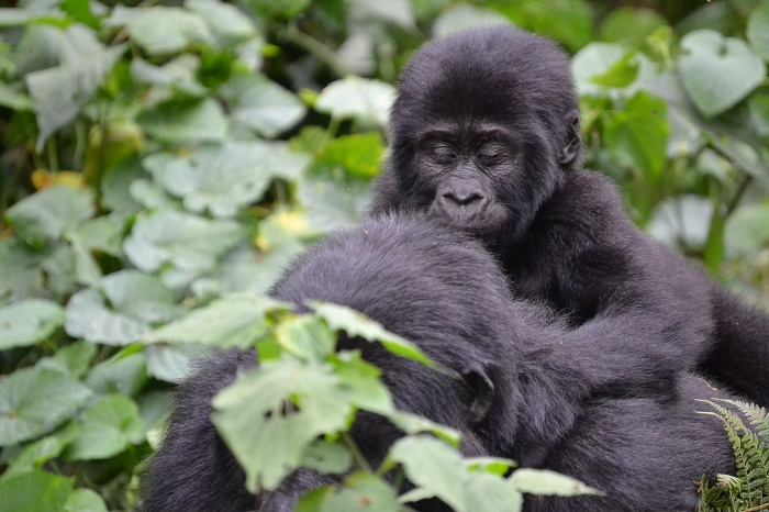4 Days Gorilla Trek Rwanda & Golden Monkeys