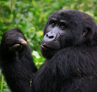 3 Days Affordable Rwanda Gorilla Trek