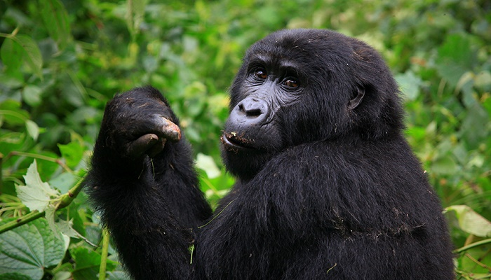 3 Days Affordable Rwanda Gorilla Trek